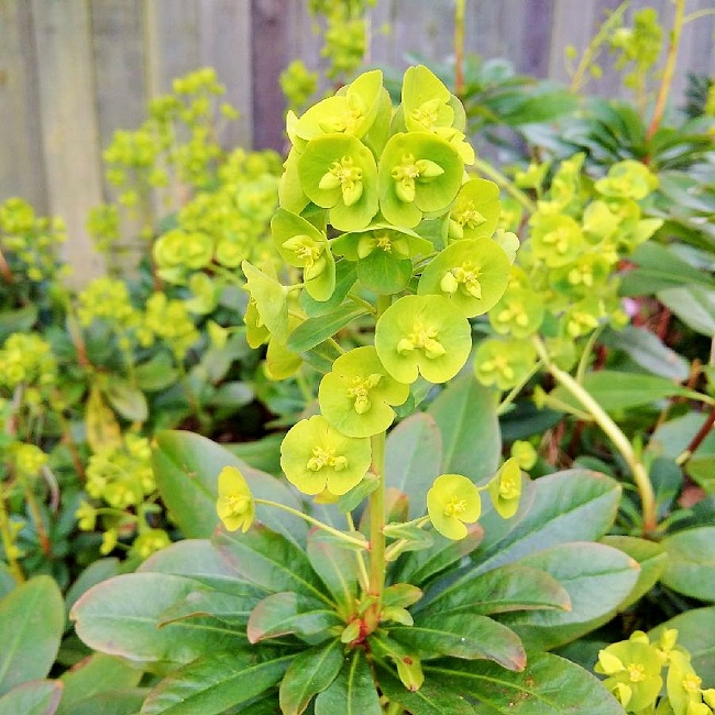 Fresh_new_growth_on_ Euphorbia