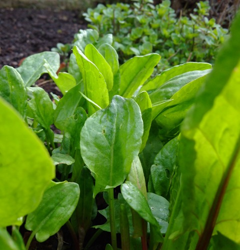 Growing_garden_sorrel