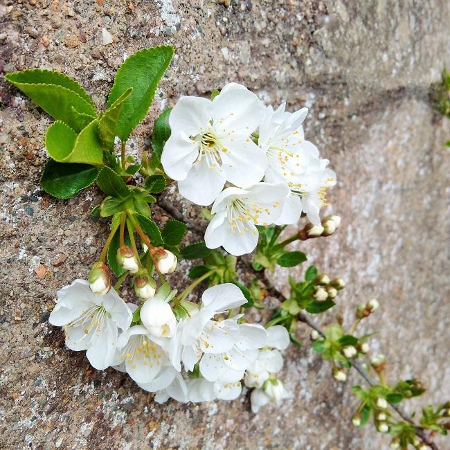 Morello_cherry_blossom