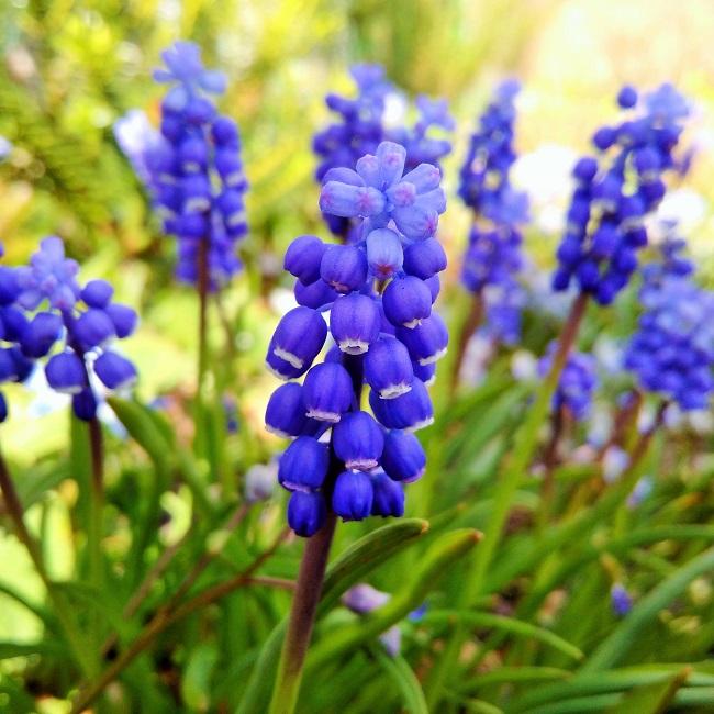Muscari_or_grape_hyacinth