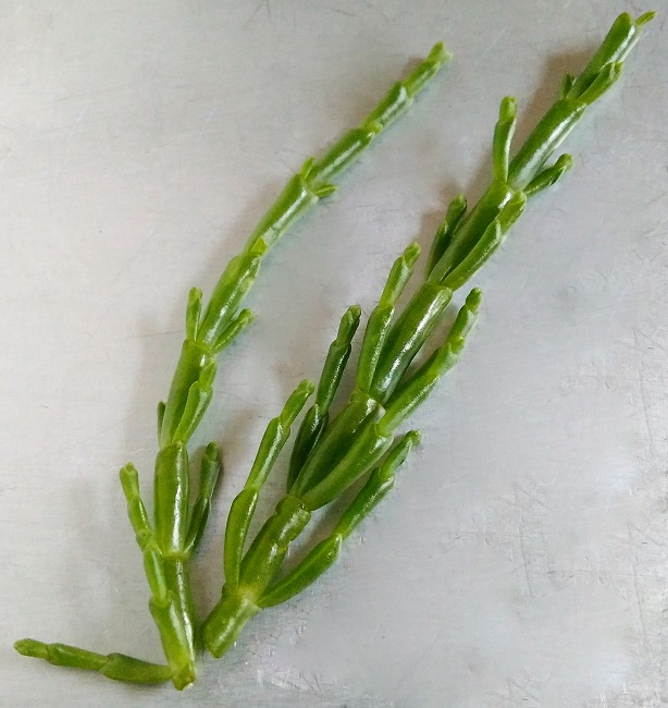 Two_stems_of_marsh_samphire
