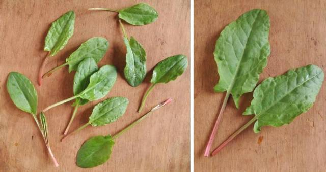 Very_young_tender_leaves_ and_more_mature_sorrel_leaves