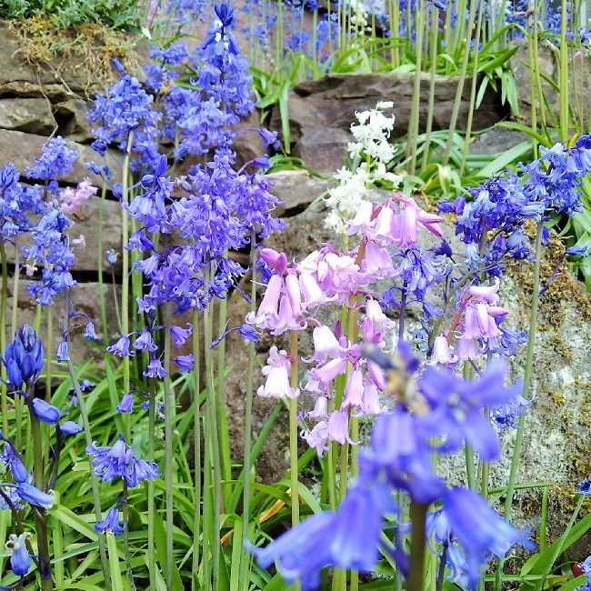 Blubells_and_pink_and_white_varieties