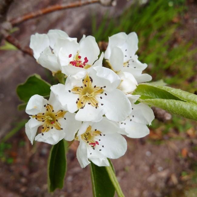 Pear_tree_blossom