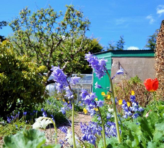 Garden_bluebells_in_the_May_sunshine