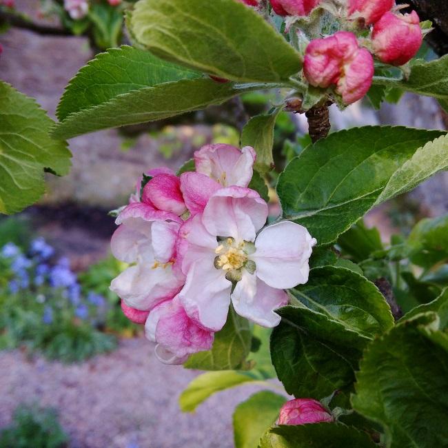 Pink-white_apple_blossom