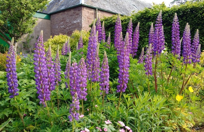 Purple-blue_lupins