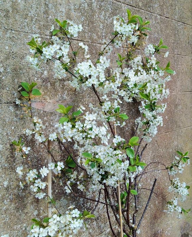 Morello_cherry_tree_in_blossom