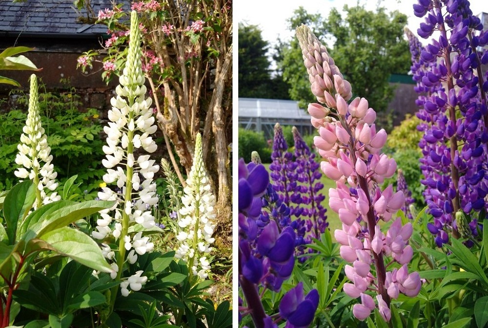 White_pink_and_blue_lupins