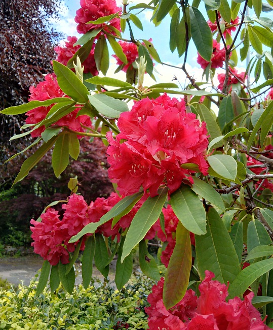 Scarlet_red_rhododendron
