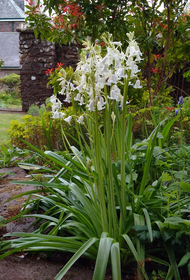Tall_white_bluebells