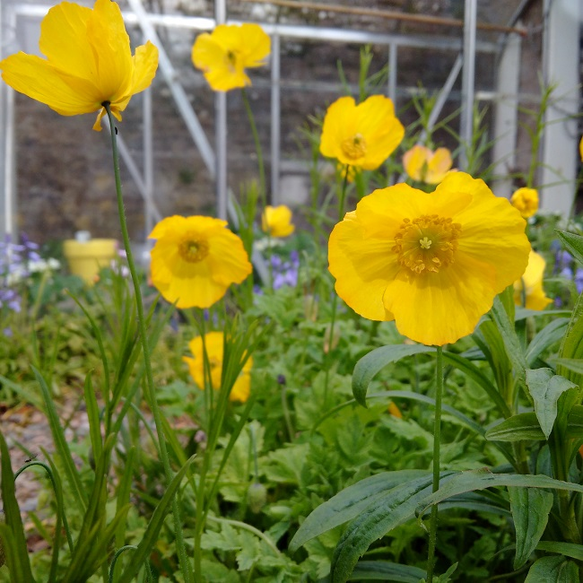 Sunny_yellow_Welsh_poppies