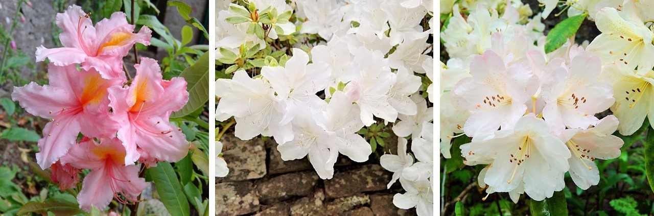 Peach-pink_rhododendron_with_white_azalea_and_an_apple-blossom-pink_rhododendron