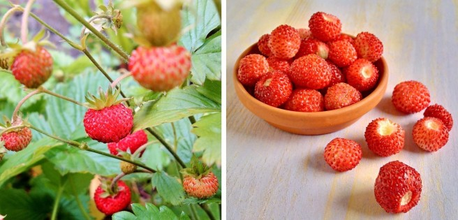 Growing_wild_small_alpine_strawberries