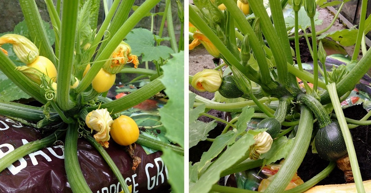 Yellow_and_green_courgette_plants