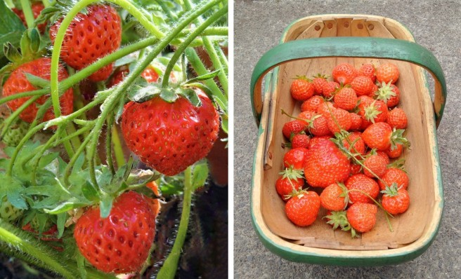 Growing_and_harvested_homegrown_strawberries