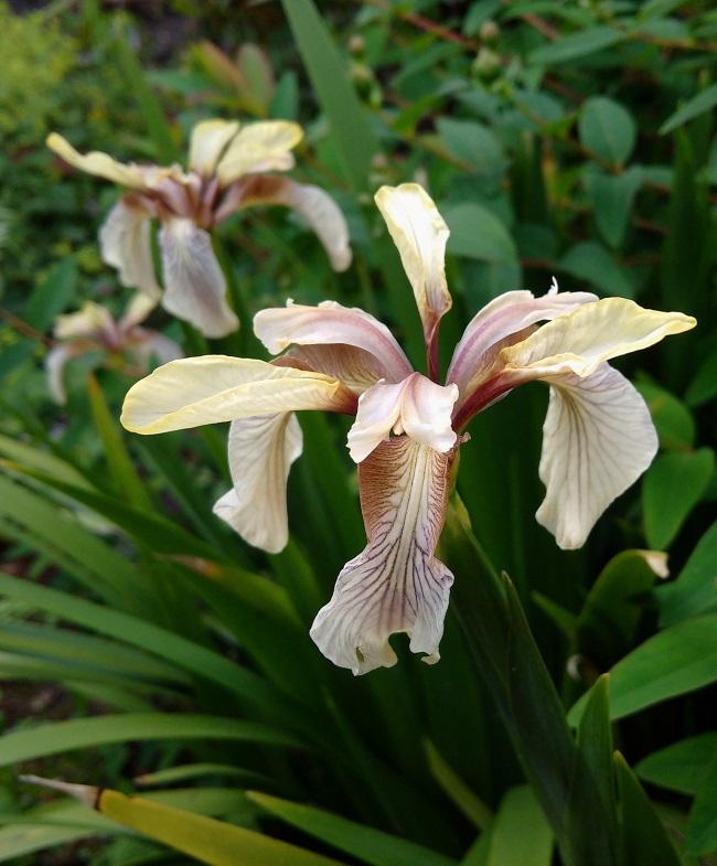 Iris_Foedissima
