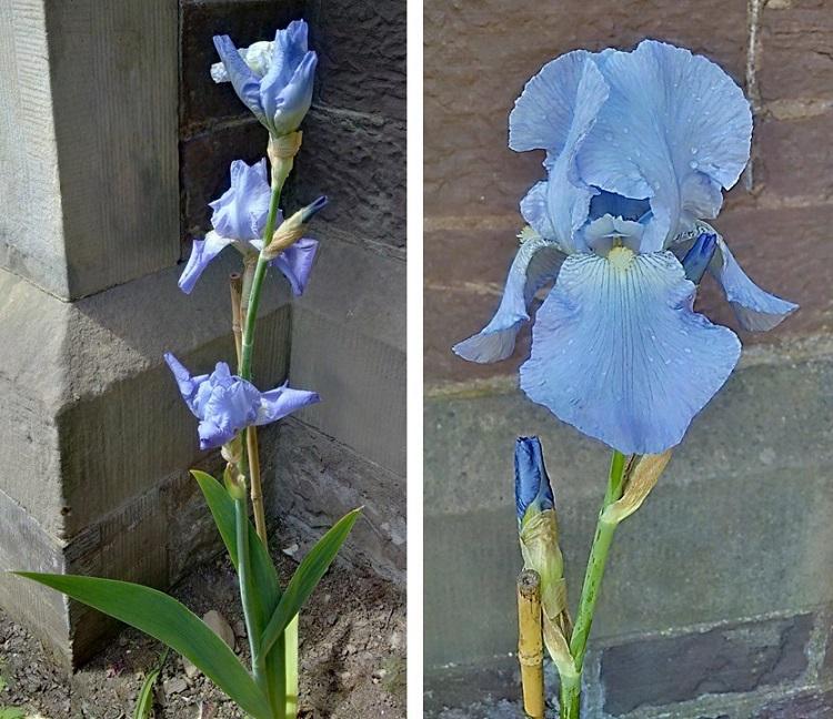 Pale_blue_iris_pallida