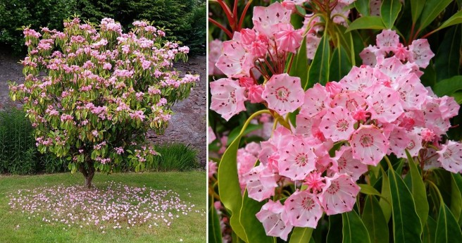 Kalmia_bush_in_flower