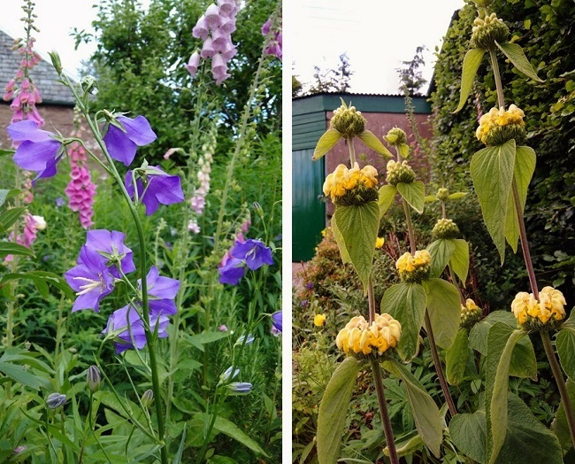 Foxgloves_campanula_and_phlomis