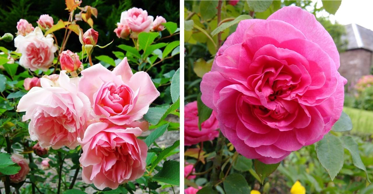Albertine_and_Gertrude_Jekyll_roses