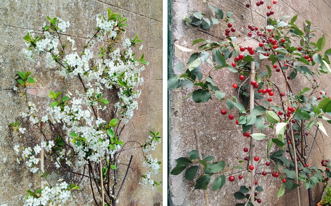 Morello_cherry_tree_in_blossom_and_in_fruit