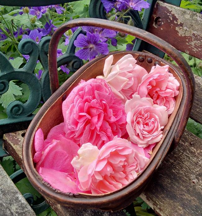 Freshly_picked_homegrown_rose_petals