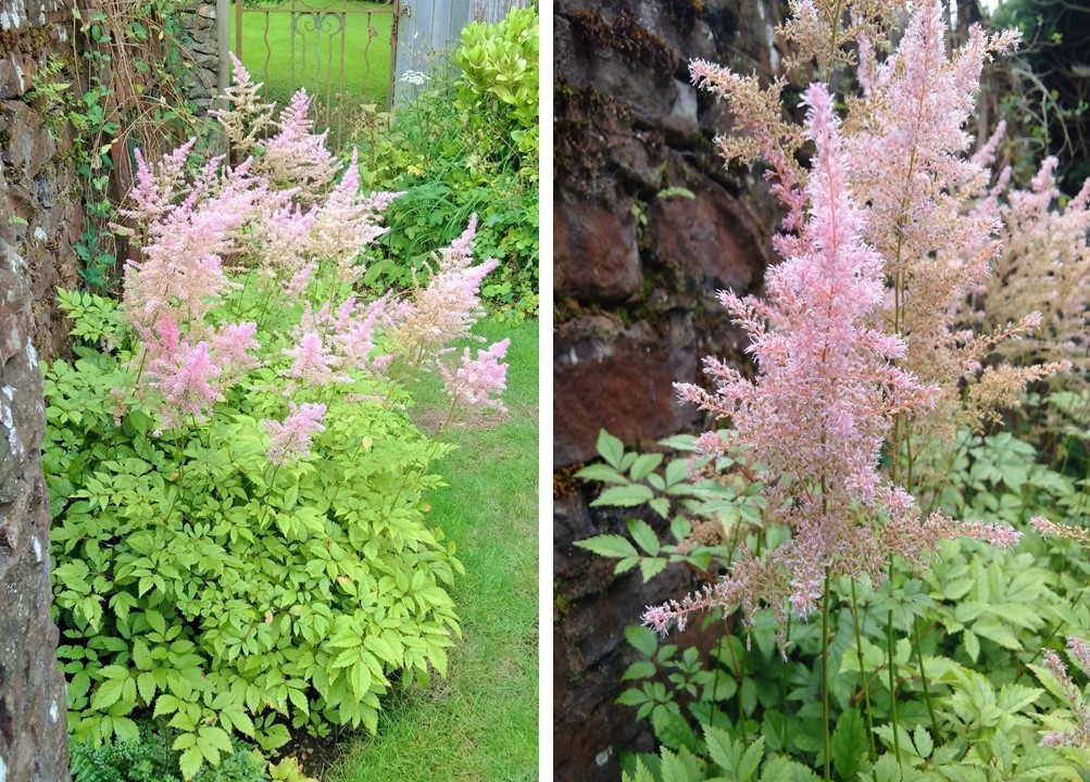 Pink_astilbe_in_flower