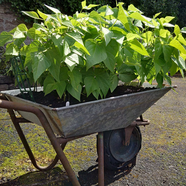French_beans_growing_in_a_wheelbarrow