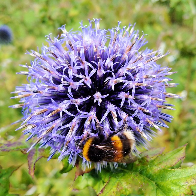 Bee_and_Echinops