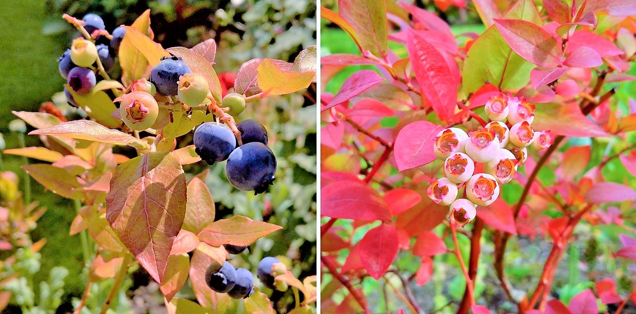 Homegrown_blueberries_on_the_bush_ripening_and_on_the_turn