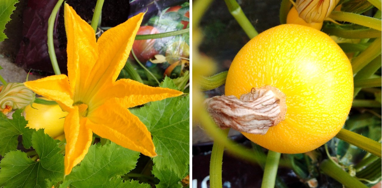 Courgette_flower_and_fruit