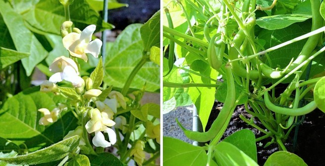 French_bean_flowers_and_beans_on_the_vine