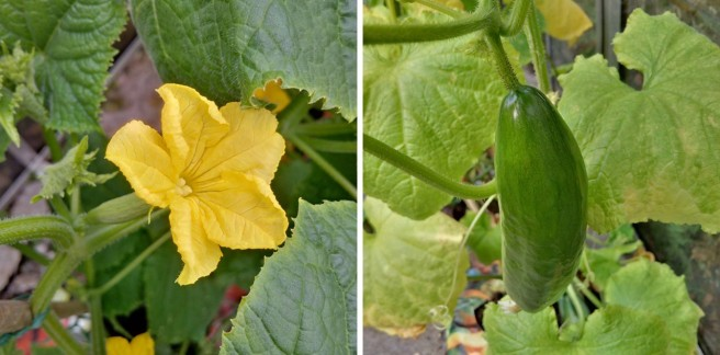 Homegrown_cucumber_flower_and_fruit Original