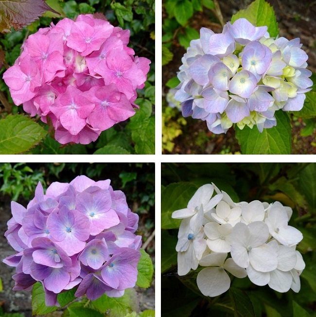Pink_pale_blue_lilac_and_white_hydrangeas