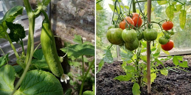 Cucumber_and_tomatoes_on_the_vine