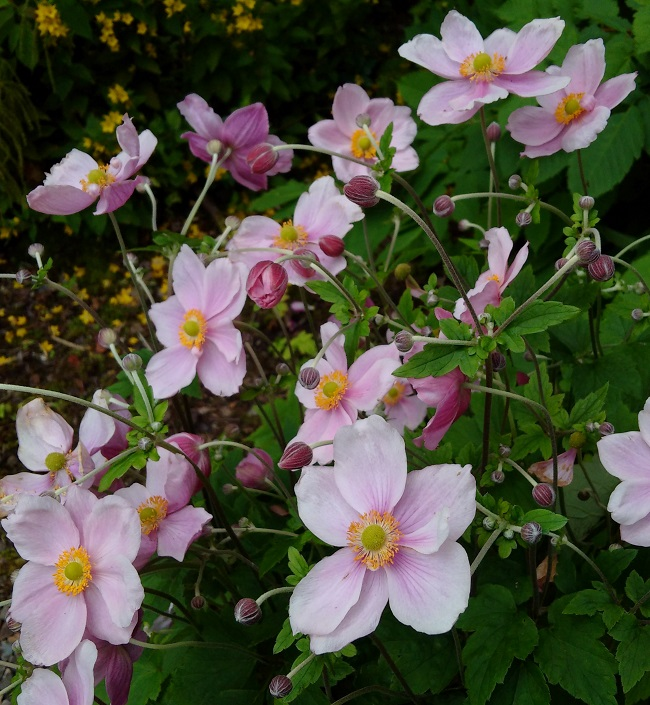 A_cluster_of_pink_Japanese_anemones