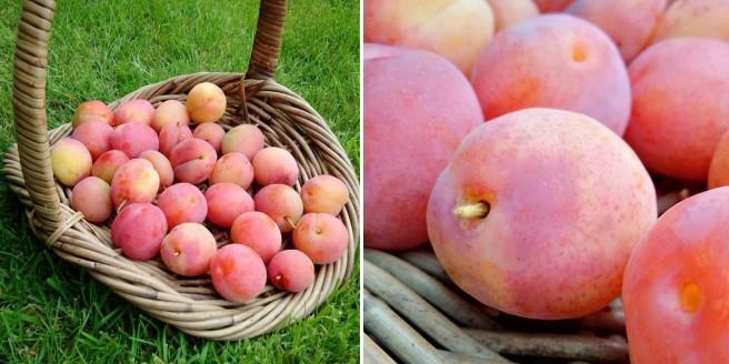 Freshly_picked_basket_of_Victoria_plums