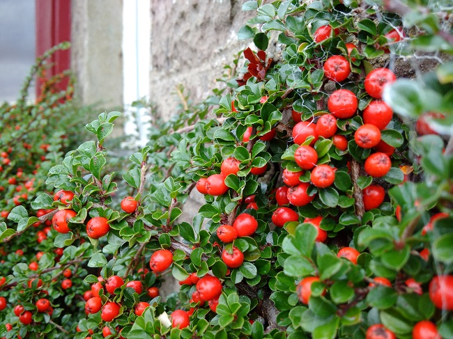 Cotoneaster_berries_and_branches
