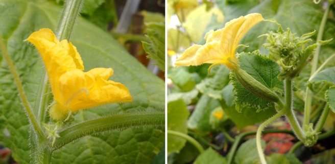 Male_and_female_cucumber_flowers