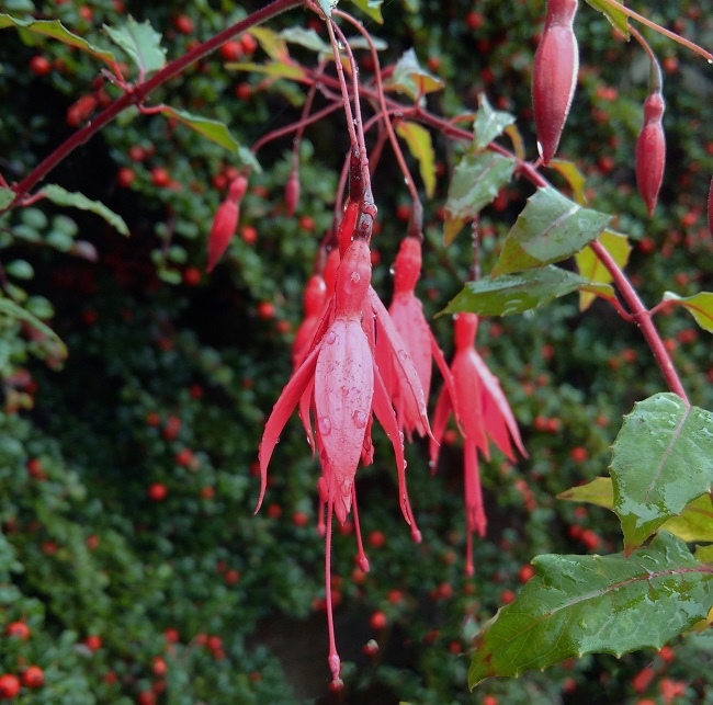 Fuschia_flowers_with_morning_dew