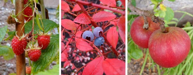 September_late_fruiting_raspberries_with_Autumn_blueberries_and_mini_red_eating_apples