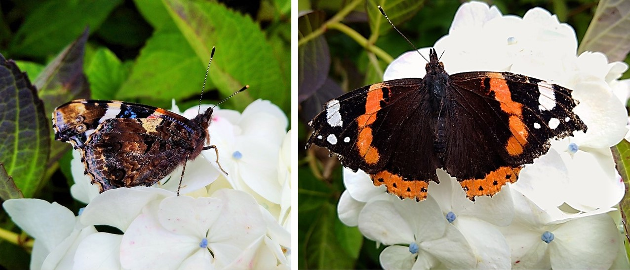 Red_Admiral_butterflies_on_white_Hydrangea_flowers