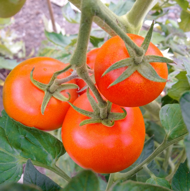 Growing_on_the_vine_home-grown_tomatoes