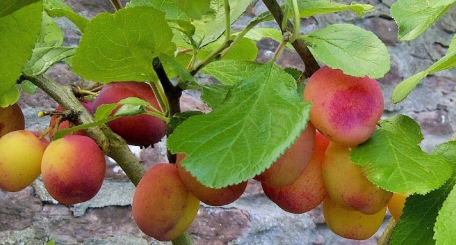 On_the_bough_homegrown_Victoria_plums
