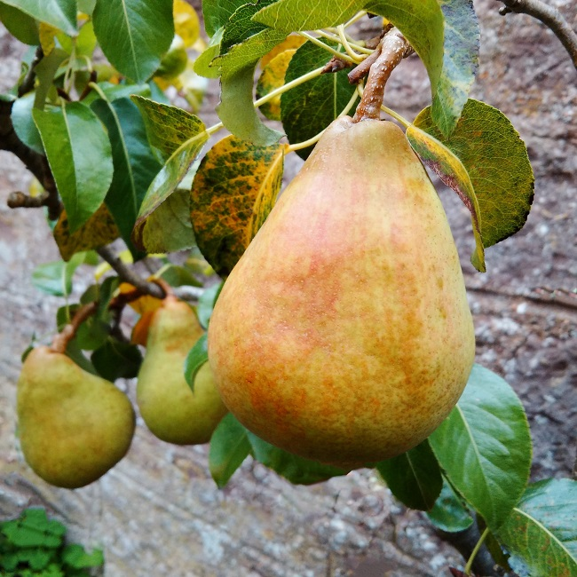 Comice_pears_growing_just_before_picking
