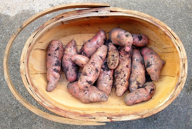 Trug_of_freshly_dug_pink_fir_potatoes