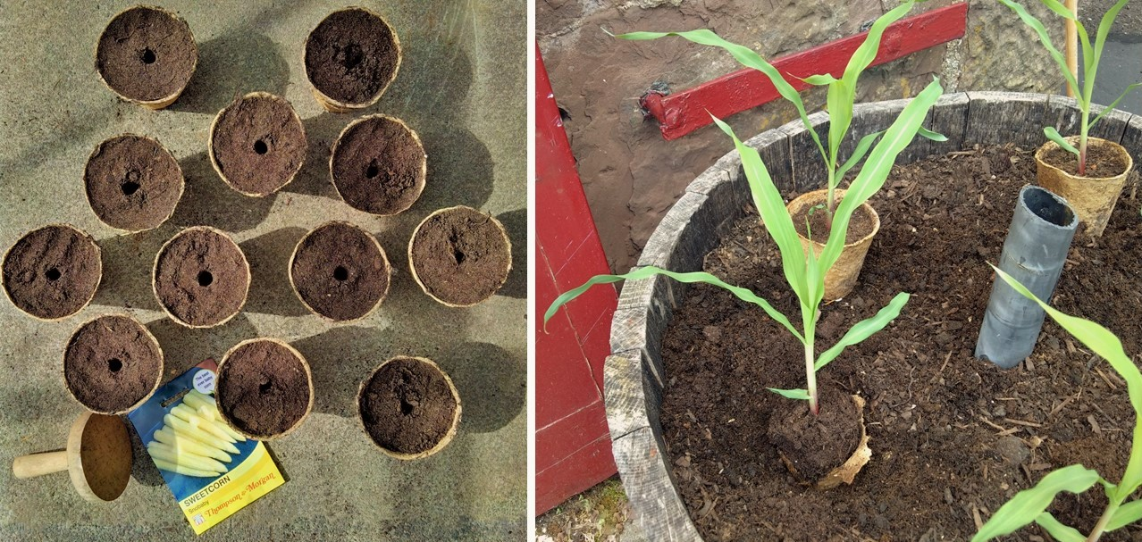 Sowing_sweetcorn_seeds_and_planting_young_sweetcorn_plants