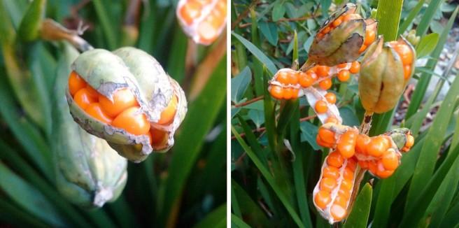 Iris_Foedissima_in_fruit