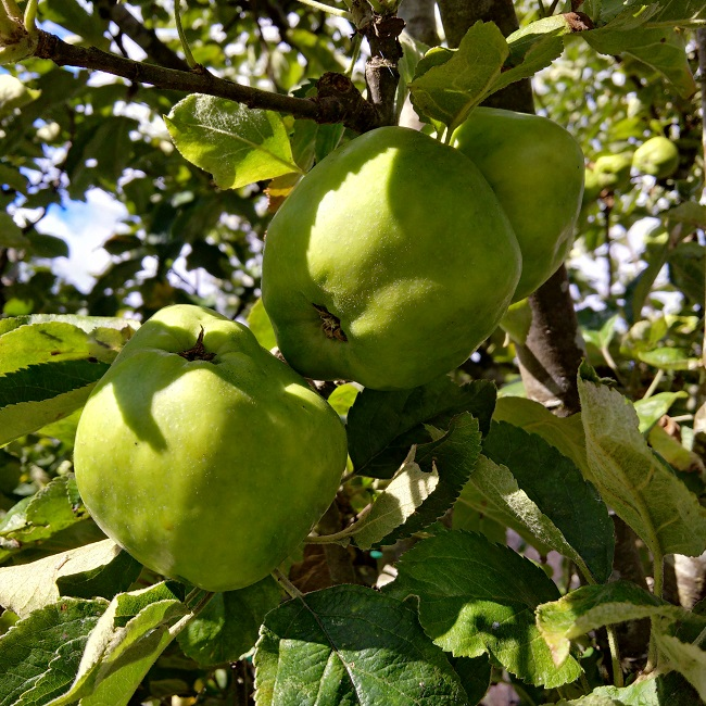 Lord_Derby_cooking_apples_growing